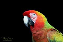 Hybrid (Megan Lorenz) Tags: macaw hybridmacaw scarletmacaw greatgreenmacaw wild wildlife wildanimals travel costarica mlorenz meganlorenz bird avian rainforest hybridmacawparrotbirdavianscarletmacawendangeredgreatgreenmacawgreenmacawnaturewildlifewildwildanimalstravelcostaricamlorenzmeganlorenz