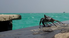 Lazing on a Sunday afternoon… (langkawi) Tags: malediven maldives indianocean indischerozean krabbe crab