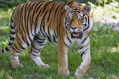 Last picture of Jegor (Tambako the Jaguar) Tags: tiger big wild cat siberian amur male standing posing portrait face openmouth grass munich münchen hellabrunn zoo germany nikon d5