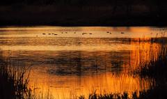 Poètica de l'Estany 2 (jocsdellum) Tags: estanydesils girona capvespre sunset atardecer birds aigua water reflexes reflexions colorfulsunset poeticsundown dusk gloaming