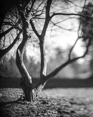 Tree - Aero Ektar (edewbank) Tags: aero ektar aeroektar filmfilmforever