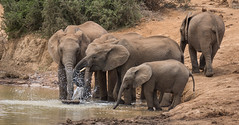 DSC08821 (Paddy-NX) Tags: 2019 20190109 addoelephantnationalpark africa elephant sony sonya77ii sonyalpha sonyalphaa77ii sonysal70300g southafrica wildlife