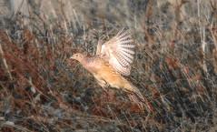 Female Pheasant (saundersfay) Tags: pheasant bird flying