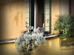 Gabbiano amico (Michelecimitan) Tags: michelecimitan venezia gabbiano finestra
