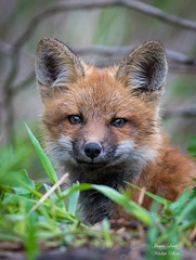 Red Fox Kit (Jamie Lenh Photography) Tags: nature wildlife animal fox redfox jamielenh