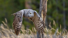 Downforce (jrlarson67) Tags: great gray owl flying flight wings raptor bird yellowstone national park wyoming