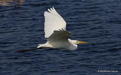 0S8A9593X. Great Egret (Egretta alba) (Nick Ransdale (http://www.nick-ransdale.com/)) Tags: greategret egrettaalba