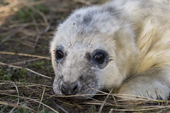 Pup(py) (abnormally average) Tags: donnanook pup seal eastcoast england uk cute nature wildlife animal