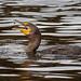 Cormorant Eating Pebbles/Grit? (Photo 2/2)