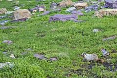 IMG_8312-1 (Debbie Spradley) Tags: montana family vacation troy glaciernationalpark rosscreekcedarsscenicarea kootenaifalls goat sheep marmot ptarmigan celebration hike hiddenlaketrail stmarylake wizardisland lakemcdonald goingtothesunroad