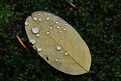 (lucamarasca1) Tags: nikond5500 dettagli details focce nikkorlens 18200mm nikkor nikon inverno winter drops flower wild nature foglie leaves