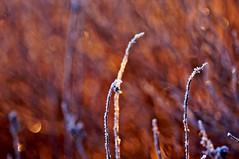Frost on fire (Stefano Rugolo) Tags: stefanorugolo pentax k5 pentaxk5 kmount smcpentaxm100mmf28 ricohimaging frostonfire fireandice frost depthoffield bokeh abstract manualfocuslens manualfocus manual vintagelens sweden sverige hälsingland