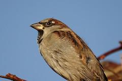 Garden House Sparrow (hedgehoggarden1) Tags: housesparrow gardenbird gardenwildlife birds nature wildlife rspb sonycybershot norfolk eastanglia uk sony creature sparrow feathers plumage sky
