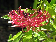 Alloxylon pinnatum  [悉尼植物園 Royal Botanic Gardens, Sydney] (阿橋花譜 KHQ Flower Guide) Tags: alloxylon 山龍眼科 proteaceae