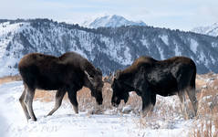the Scuffle (laura's POV) Tags: moose bull animal wildlife nature mountains valley nationalpark grandtetonnationalpark gtnp wyoming jacksonhole northamerica unitedstates west western snow cold winter landscape lauraspov lauraspointofview grosventre december sonya7r