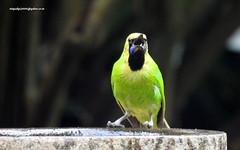 DSCN4796 Jerdon's Leafbird-Male (Chloropsis jerdoni) (vlupadya) Tags: greatnature animal aves fauna indianbirds jerdons leafbird male chloropsis kundapura karnataka