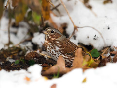 Fox Sparrow (Red form) _ Passerella iliaca (Kremlken) Tags: sparrows birds birding birdwatching fall snow outdoors nikon500 northwestpa pennsylvania groundbirds