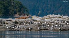 Bird Island (since 1960) Tags: kanada canada britishcolumbia vancouverisland insel island meer ocean pazifik pacific landschaft landscape natur nature tiere animals vogel bird fujifilmxt1