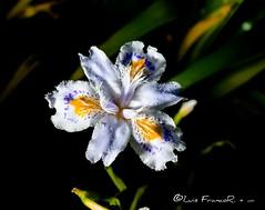 Iris Japonica in great colors (Luis FrancoR) Tags: irisjaponicaingreatcolors irisjaponica luisfrancor irisjaponicaflower japonica flores flowers ngw ngs ngd ng ngc ngo ngg macro