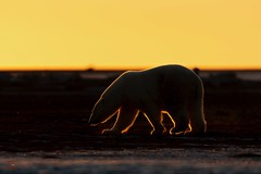 Searching in the Arctic Dusk (Glatz Nature Photography) Tags: nikond850 sunset dusk sun ice arcticalaska mammal animal rimlighting silhouette bear kaktovik barterisland glatznaturephotography alaska arctic ursusmaritimus polarbear