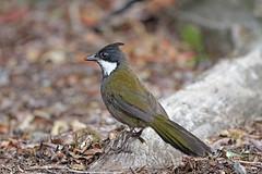 Eastern Whipbird (Alan Gutsell) Tags: easternwhipbird eastern whipbird jungle forest wet lamingtonnationalpark nationalpark nature queenslandbirds australian birds photo canon camera alan