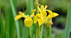 Wild Iris. (pstone646) Tags: flowers nature flora green yellow bokeh kent petals