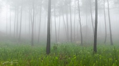 Pines and fog (jorgeverdasca) Tags: goth nature 5dmark4 canonphotos woodland landscape forest morningfog mist magiclight fog pinetree pines sintra portugal