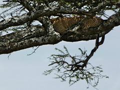 African leopard  -  Panthera pardus pardus suahelica (Linda DV) Tags: lindadevolder travel africa tanzania 2018 nature geotagged fauna flora serengeti african leopard pantheraparduspardussuahelica pantheraparduspardus carnivora vulnerable
