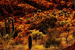It's hot here - Copper Creek Road, Arizona (Lon&Queta) Tags: 2016 arizona art cacti chollacacti colorphotomanipulation desert flickr galiuromountains gps jumpingchollacactuscylindropuntiafulgidachainfruitcholla landscapes mountains pinalcounty saguarocactuscarnegieagigantea sanpedrorivervalley usa unitedstatesofamerica