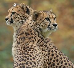 cheetah Burgerszoo 094A1529 (j.a.kok) Tags: animal africa afrika mammal cheetah jachtluipaard acinonyxjubatus acinonyxjubates predator zoogdier dier burgerszoo burgerzoo