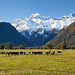 New Zealand stock photos | Hereford cattle graze in a paddock. Mt Tasman in the background, South Westland
