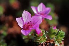 Flower (Hugo von Schreck) Tags: hugovonschreck flower blume blüte macro makro canoneos600d yourbestoftoday ef50mmf25compactmacro