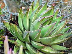 haworthia marginata - ashton, south africa 2