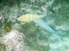 Blue-chinned Parrotfish, Scarus ghobban (Anita363) Tags: bluechinnedparrotfish parrotfish scarusghobban scarus scaridae perciformes teleost fish fauna snorkeling film islasantafe santafeisland santafe galápagos galapagos ecuador bluebarredparrotfish