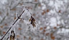 Zúzmara (Spanifer) Tags: rime winter cold zúzmara tél hideg