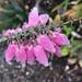 Morning Pinks