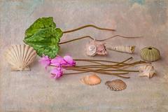 le forme, the shapes (adrianaaprati) Tags: flowers cyclamens leaves shells stilllife shapes november autumn textured lenabemannaj