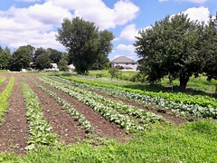 fall brassica field (BelmontAcresFarm) Tags: august 2018 farm belmont belmontacres brassicas