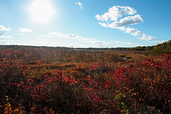 Fire and T rex (f.tyrrell717) Tags: whit bogs nj 08015 pine barrens red