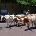 Fort Worth - Longhorn Cattle Drive