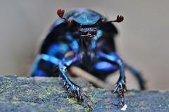 Monster (Hugo von Schreck) Tags: hugovonschreck bug käfer macro makro monster insect insekt canoneos600d tamronspaf180mmf35dildifmacro11 buzznbugz