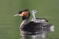 Australasian Crested Grebe with chick(Podiceps cristatus) (mikullashbee) Tags: podicepscristatus grebe greatcrestedgrebe australasincrestedgrebe newzealandbirds birds waterfowl chick babybird christchurch