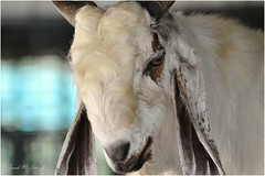 Gaze; (JM Ashraff) Tags: gaze closeup animalportrait animalphotography animallover tamilnadu india farmanimal nature