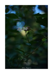 2018/10/7 - 12/18 photo by shin ikegami. - SONY ILCE‑7M2 / Carl Zeiss C Sonnar T* 1.5/50 ZM (shin ikegami) Tags: 紫陽花 macro マクロ flower 花 井の頭公園 吉祥寺 autumn 秋 sony ilce7m2 sonyilce7m2 a7ii 50mm carlzeiss sonnar csonnar50mmf15 tokyo sonycamera photo photographer 単焦点 iso800 ndfilter light shadow 自然 nature 玉ボケ bokeh depthoffield naturephotography art photography japan earth asia
