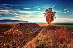 Zuckerrüben (r.wacknitz) Tags: sugarbeets lowersaxony niedersachsen fog zuckerrüben nikond3400 nikkor nikcollection natur birch field
