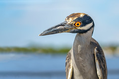 The Amazing Hypnoheron (Michael R Hayes) Tags: yellowcrownednightheron bird florida pascocounty fl