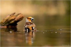 Hawfinch bathing time (Gertj123) Tags: bokeh birds water spring arjantroost avian animal nature wildlife holterberg hide male bathing brown canon sigma120300mmf28 netherlands