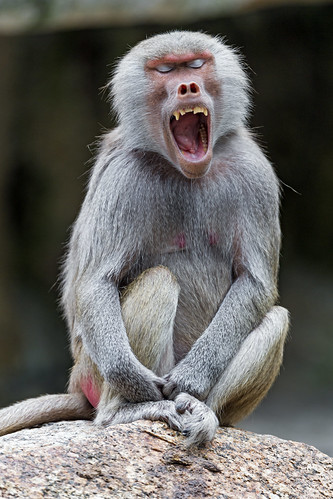 Young baboon with open mouth and closed eyes