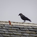 Jackdaw on a roof, 2018 Dec 25