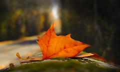 Orange leaf (Mawel.P) Tags: eos100d leaf autunm fall